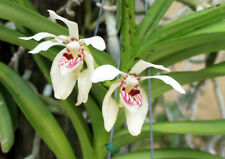 Orchid Vanda pumilum Species
