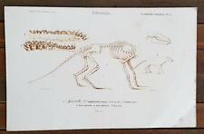 GRAVURE AUTHENTIQUE 19° paléontologie. SQUELETTE d ANOPLOTHERIUM commune.