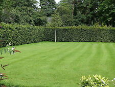 3 Green Beech Hedging Plants 3-4ft, Fagus Sylvatica Trees,Copper Winter Leaves