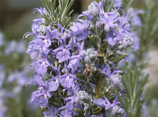 Rosemary Herb Plant Organic Non-GMO