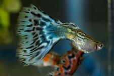 25-1/2 inch Fry of Multi Colored Delta Show Guppies