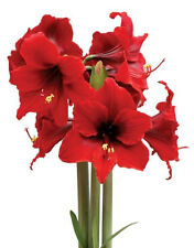 *NEW* Amaryllis Fire Dancer® South African Bulb, RED~Fast force