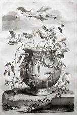 MIMOSE ABRAHAM MUNTING MIMOSA SENSITIVE 1696 ORIGINAL-KUPFERSTICH DORMIDEIRA