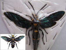 Megascolia procer wasp Unmounted Insect REAL