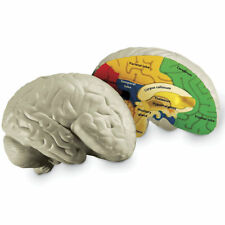 Learning Resources Soft Foam Cross-Section Brain Model 1903