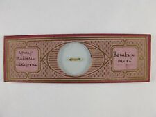 Antique Microscope Slide. Young Mulberry Silkworm. Bombyx mori. Smith & Beck.
