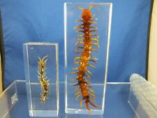 Insect Educational Taxidermy Specimen Red Headed Centipede Lucite Paperweight