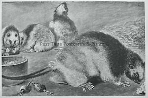 c1894 Antique Mouse Print THE PHILIPPINE RAT Royal Natural History Lydekker