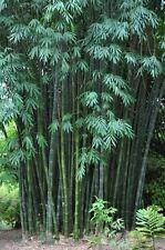 Dendrocalamus latiflorus (Taiwan Giant Bamboo) VERY RARE - 5 Fresh seeds