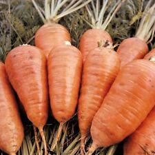 Zanahoria-principios de mercado - 2000 Semillas