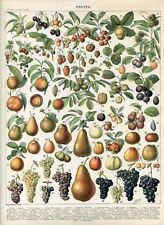 Fruit, peach, pear, strawberry, grape  Antique lithograph print...Larousse 1897