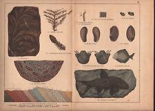 1878 lithographie originale fossiles coquillages poissons plante géologie