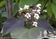 Catalpa erubescens Purpurea - Trompetenbaum - Bohnenbaum