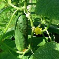 CUCUMBER SPACEMASTER 15+ Seeds Vegetable Garden COMPACT BUSH PLANT spring summer