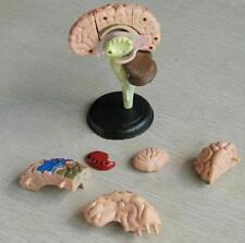 Learning Resources Human Anatomy Brain Model *