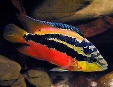 3 Salvini Cichlid Live Freshwater Aquarium Fish