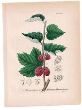 Antique Botanical Print Black Mulberry Artus-Kirchner-1876