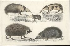 1830 Goldsmith Antique Print Hedgehogs Silky Tenree, Half Spined, Prickly ,White