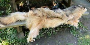 Large Reddish Brown/Beige Wolf Fur Pelt 6ft 6inch !