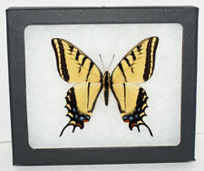 Real Framed Butterfly Papilio Multicaudata in Riker Mount~Two Tailed Swallowtail