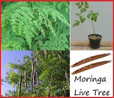 1 Miracle Tree Moringa Oleifera  LIVE TREE