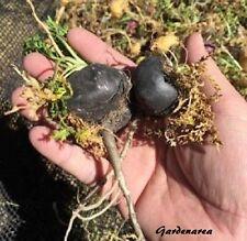 100 Graines Black Maca 'Lepidium meyenii'  Black Peruvian ginseng seeds