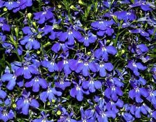 Lobelia hang-downing Blue Cascade Flower Seeds from Ukraine