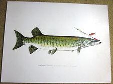 Denton FISH Print MUSKALONGE w Fly 12 inches by 9 3/8 Vintage Art