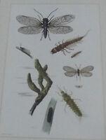 Objet scolaire planche insecte N°97 SIALIS , MOUCHE DE MAI