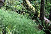 broom fern TREE FERN asparagus virgatus, 20 seeds GroCo
