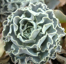 ECHEVERIA SHAVIANA BLUE CURLS rare succulent hen and chicks plant seed -15 SEEDS