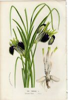 Van Houtte 1856 Antique Print: IRIS TUBEROSA Flower Botanical Decor Gift