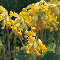 Cowslip - Primula veris - 50 Seeds