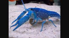 "FEMALE ELECTRIC BLUE CRAYFISH 1-2"" live fish koi pond TFC"
