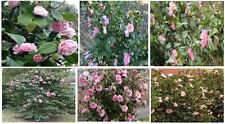 Pink Camelia Shrub Bush 10 + Seeds