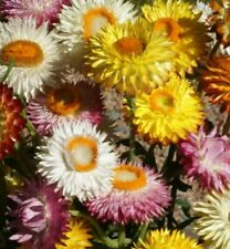 Helichrysum Strawflower Seeds 300+ Mixed Colors Annual red Orange Free Shipping