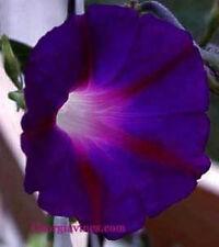 Morning Glory Ipomoea purpurea Kniola's Black 10 Seeds
