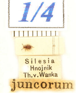 1-4 old Staphylinidae - Reichenbachia juncorum (Leach, 1817) INTERESTING sp.