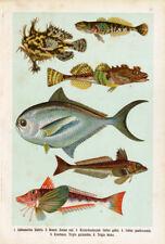 Antique Fish Print-GURNARD-FROGFISH-Lithograph-1906