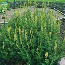 Suffolk Herbs - Weld Dyers Rocket - 150 Seeds