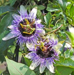 Winterharte Passionsblume - exotische Schönheit - mehrjährige Kletterpflanze