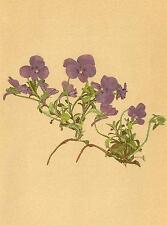 Alpenflora Alpine Flores: viola cenisia L-Mont Cenis-veilchen; antigua de impresión de 1897