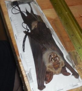 HIPPOSIDEROS DIADEMA REAL HANGING BAT INDONESIAN TAXIDERMY DIADEM