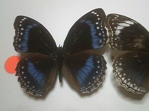 Dried Insect/Butterfly Non set B7398 Rare Blue winged Egg fly Hypolimnas alimena