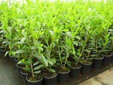 - Kirschlorbeer-Strauchpflanzen für volles Sonnenlicht