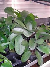1 pot d echinodorus big bear rouge  plante aquarium rare made in france