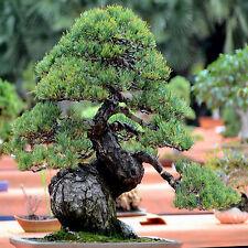 PINO BLANCO JAPONÉS 100 SEMILLAS Pinus Parviflora IDEAL BONSAI GARANTIZADAS