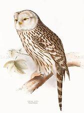PAINTING BIRDS GOULD URAL OWL ART PRINT POSTER LAH568A