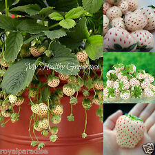 "30 Seeds NEW and RARE! Pineapple flavored strawberry! ""White Alpine"" Pineberry"