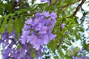 20 Seeds - Jacaranda Mimosifolia Seeds, Jacaranda, Blue Jacaranda, Black Poui